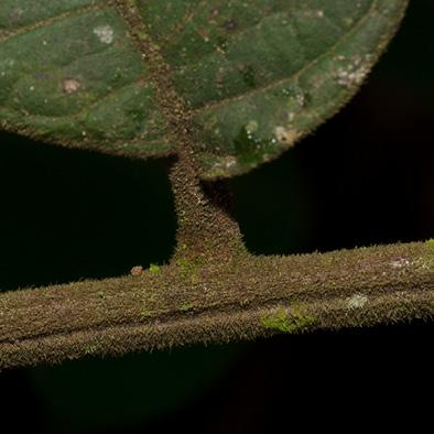 Deinbollia molliuscula Rachis, leaflet base and petiolule.