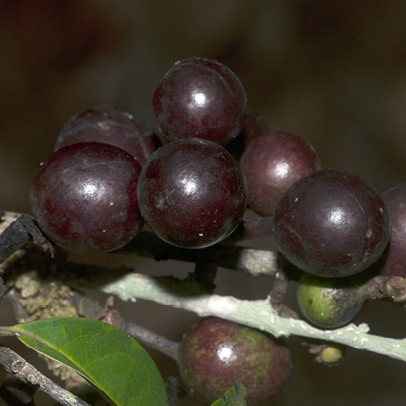 Greenwayodendron suaveolens Ripe fruit.