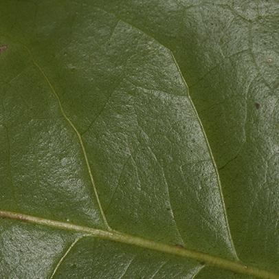Zanthoxylum tessmannii Midrib and venation, leaflet upper surface.