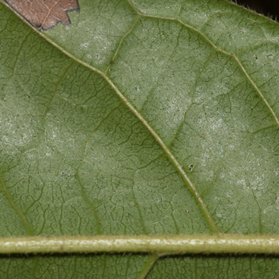 Diospyros pseudomespilus Midrib and venation, leaf lower surface.