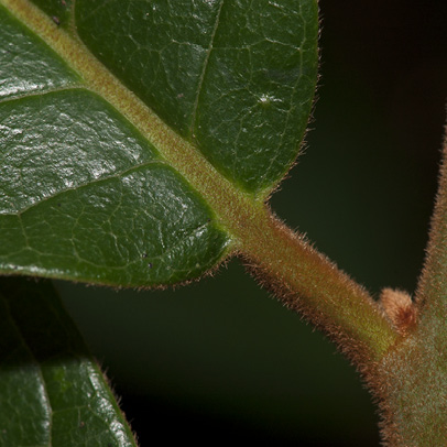 Diospyros pseudomespilus Leaf base and petiole, upper surface.