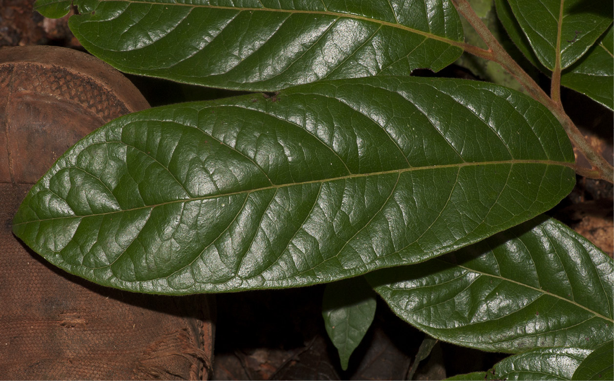 Diospyros pseudomespilus Leaf, upper surface.