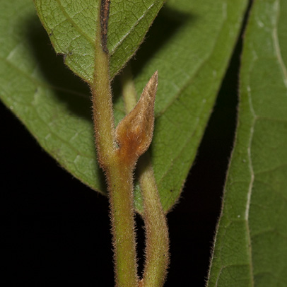 Diospyros pseudomespilus Terminal bud and leaf base.