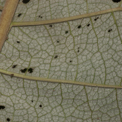Vernonia titanophylla Midrib and venation, leaf lower surface.