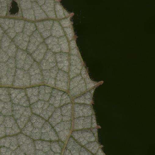 Vernonia titanophylla Leaf margin, lower surface.