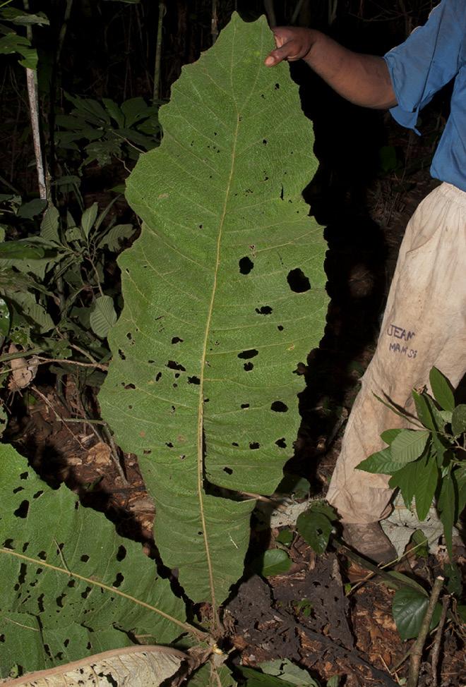 Vernonia titanophylla Leaf, upper surface.