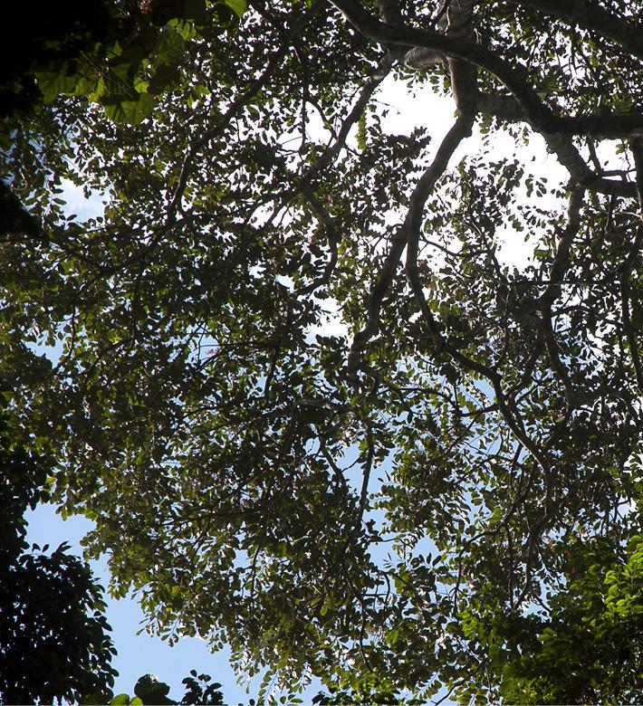 Zanthoxylum tessmannii Silhouette of canopy.