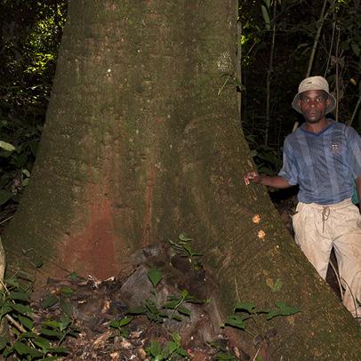 Zanthoxylum tessmannii Base of trunk.