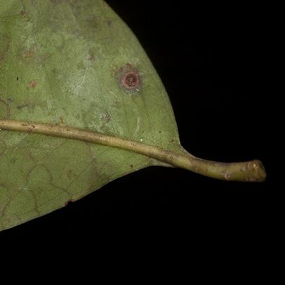 Zanthoxylum tessmannii Leaflet base, lower surface.