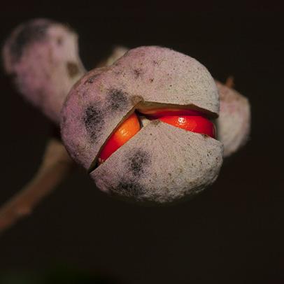 Trichilia welwitschii Ripe fruit.