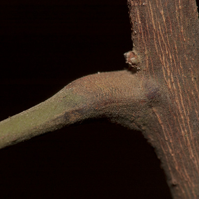 Trichilia welwitschii Petiole base.