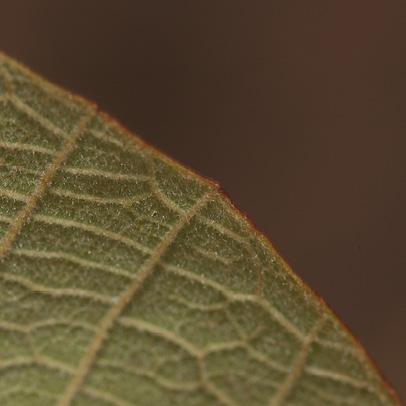 Christiana africana Leaf margin, lower surface.