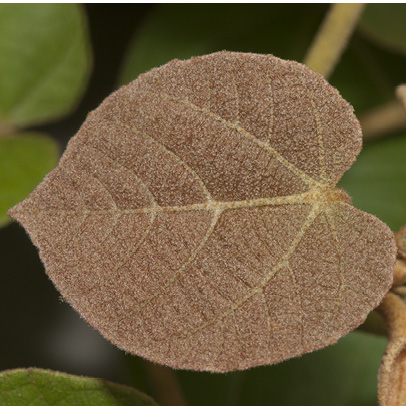 Christiana africana Young leaf.