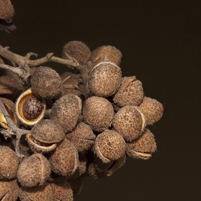 Christiana africana Fruits.