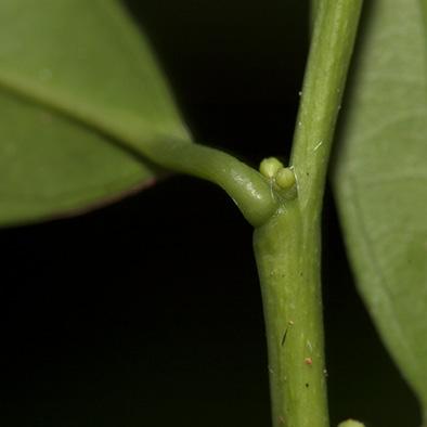 Heisteria parvifolia Petiole and flower buds.