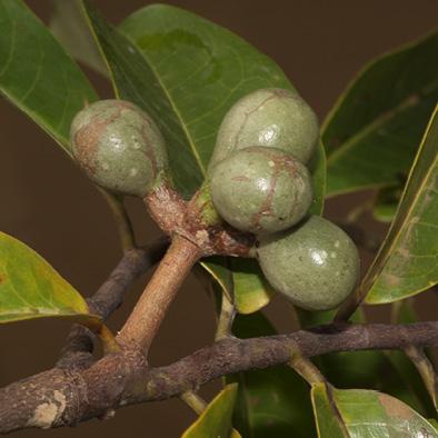Cleistopholis patens Immature fruit.