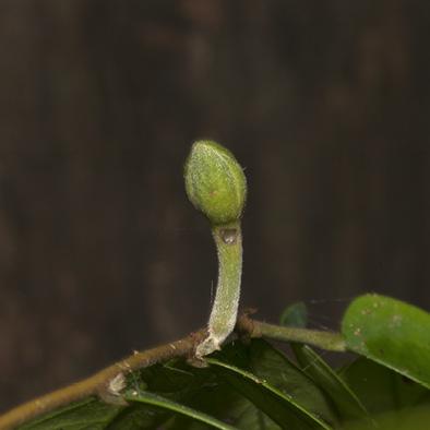 Dicranolepis pulcherrima Flower bud.