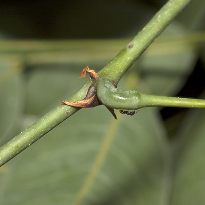 Millettia griffoniana Stipules and petiole base.