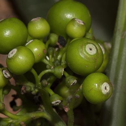 Pauridiantha rubens Immature fruit.
