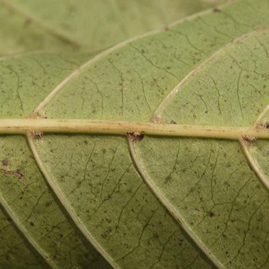 Morinda lucida Midrib and venation, leaf lower surface.