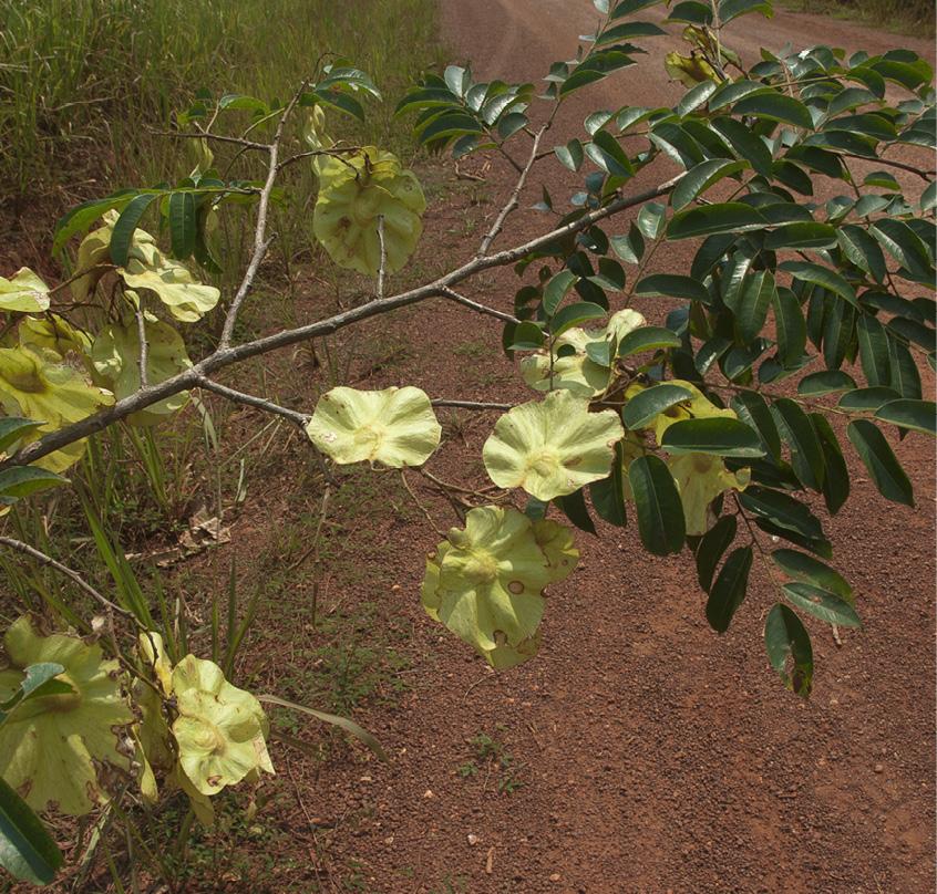 Pterocarpus soyauxii Fruiting branch.