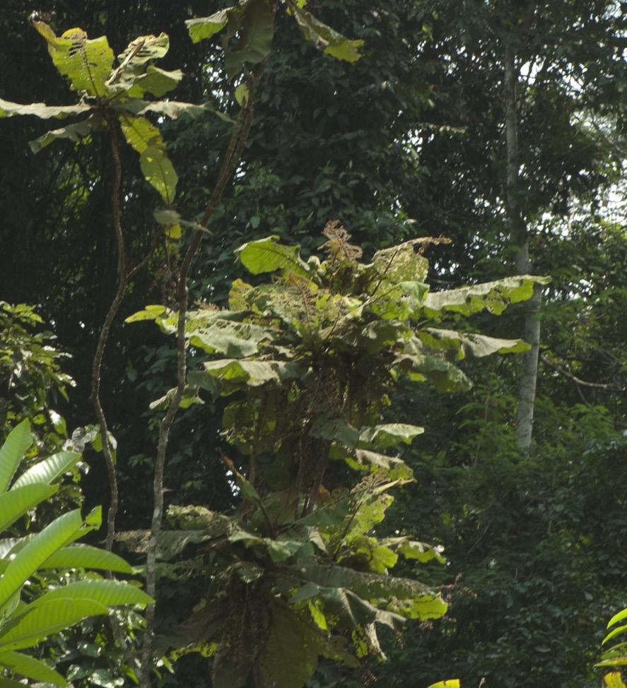 Vernonia titanophylla Habit.