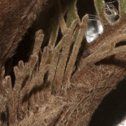Vernonia titanophylla Finger-like processes at the base of the petiole.