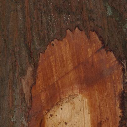 Xylopia aethiopica Bark and slash.