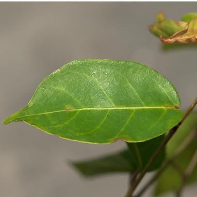 Hymenocardia ripicola Leaf, upper surface.