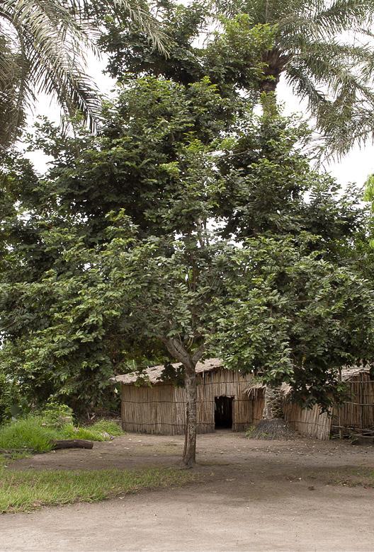 Bridelia micrantha Tree.
