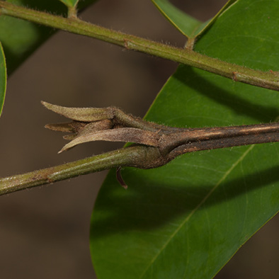 Pterocarpus soyauxii Stipules and terminal bud.
