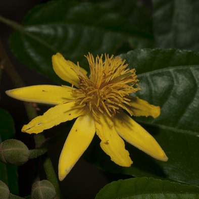 Glyphaea brevis Flower.