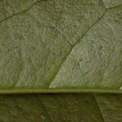 Heisteria parvifolia Midrib and venation, leaf lower surface.