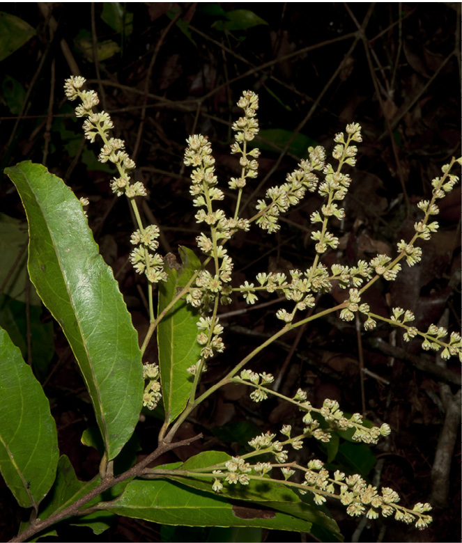 Homalium longistylum Inflorescence.