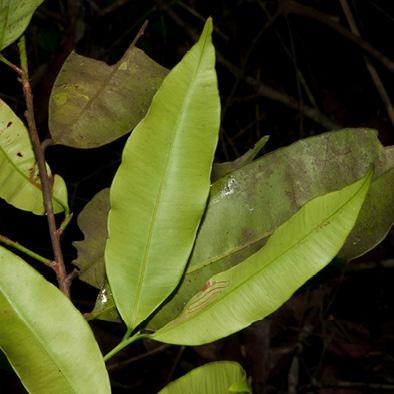 Rhabdophyllum arnoldianum Leafy branch.