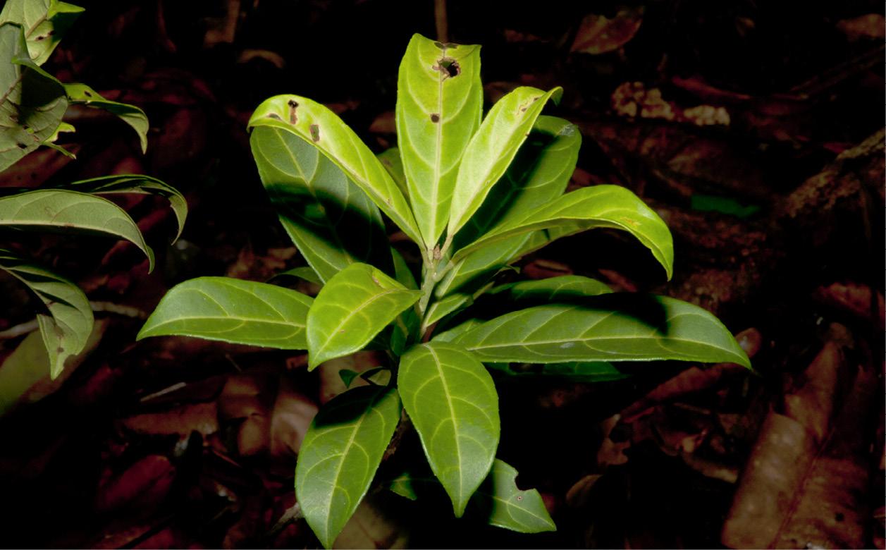 Maesobotrya pynaertii Leafy shoot.