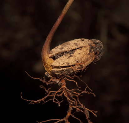 Scytopetalum pierreanum Germinating seedling with remains of endocarp still attached.
