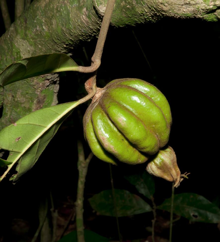 Rothmannia whitfieldii Fruit.