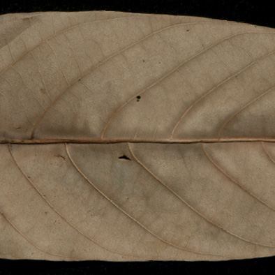 Millettia laurentii Dried leaf, lower surface.