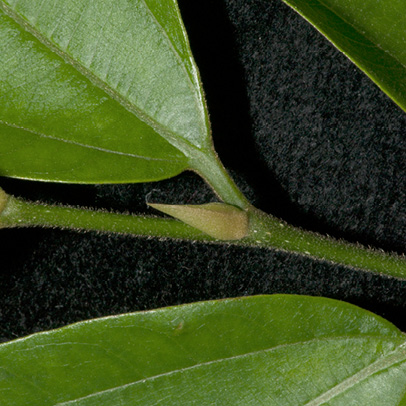 Celtis zenkeri Leaf base, upper surface, petiole and stipule.