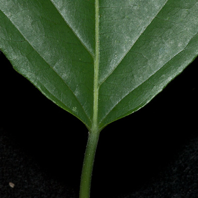 Lindackeria dentata Leaf base, upper surface.