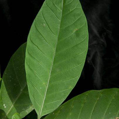 Tabernaemontana crassa Leaf, upper surface.