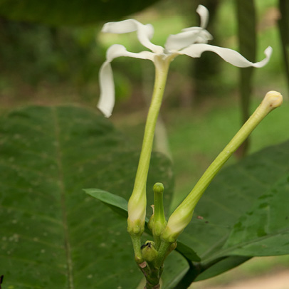 Tabernaemontana crassa Flower and flower bud.
