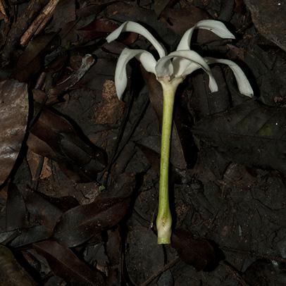 Tabernaemontana crassa Fallen corolla.