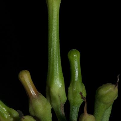 Tabernaemontana crassa Flower buds.