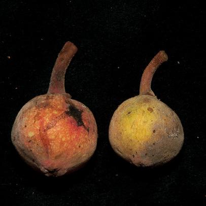Ficus mucuso Ripe figs.