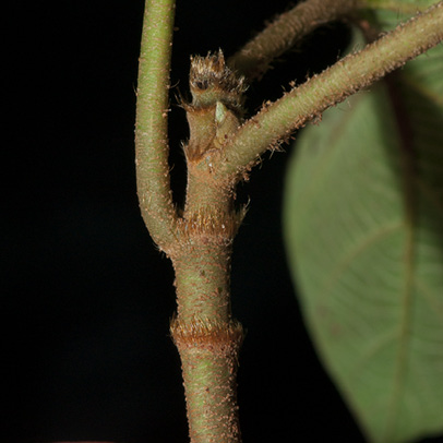 Ficus mucuso Petiole base and ring of hairs on stipular scar.