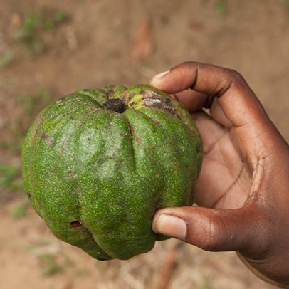 Desplatsia dewevrei Fruit.