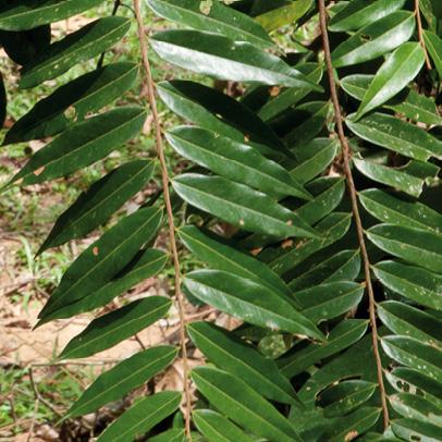 Xylopia hypolampra Leafy branch.