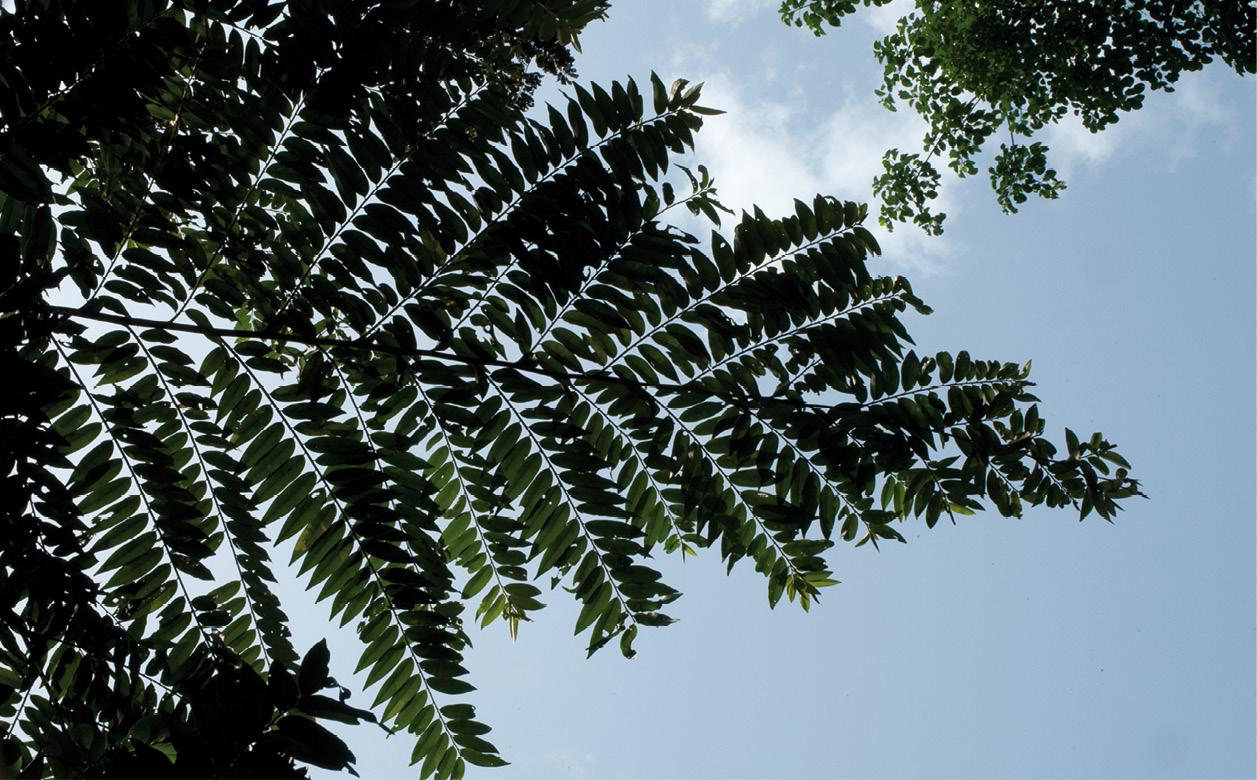 Xylopia hypolampra Silhouette of leafy branches.